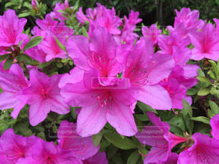 ツツジの花の写真・画像素材[1201572]