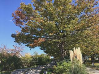 風景,公園,紅葉,木,屋外,植物,晴れ,青空,晴天,ススキ,新潟,遊歩道,秋空,白山公園,新潟市,初秋,秋の始まり,芒