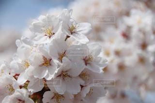 近くの桜と遠くの桜との写真・画像素材[1793051]
