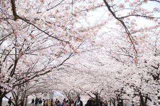 自然,風景,公園,花,春,桜,屋外,ピンク,植物,晴れ,青空,花見,桜並木,サクラ,お花見,明るい,華やか,桃色,観客,彩,ソメイヨシノ,通行人,さくら,道行く人,サクラロード