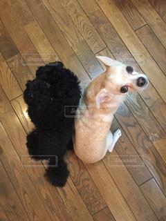 フローリング床の上に座って見上げている白黒のワンちゃんたちの写真・画像素材[1065389]
