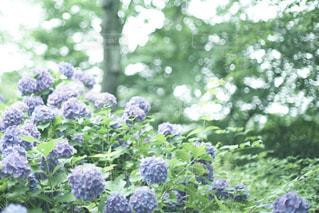花,夏,あじさい,紫陽花,梅雨