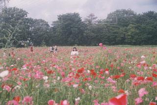 フィールドに赤い花の写真・画像素材[1232716]