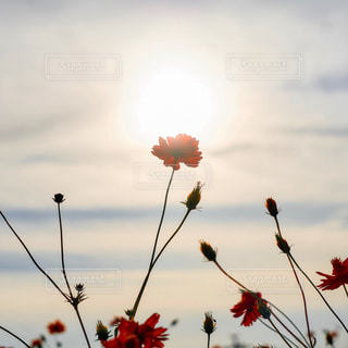 赤い花の写真・画像素材[1467967]