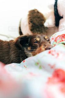 ベッドに横たわる犬のクローズアップの写真・画像素材[2507031]