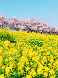 フィールド内の黄色の花の写真・画像素材[1871129]