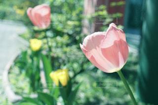 チューリップの花の写真・画像素材[1926050]