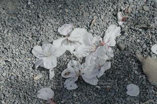 桜の終わりの写真・画像素材[2011417]