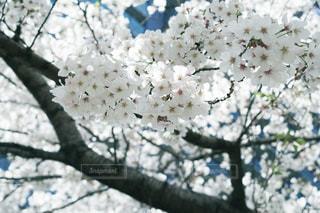 桜と青の写真・画像素材[2011442]