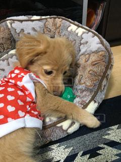 犬,ハート,可愛い,子犬,ミックス,パピー,ポメックス