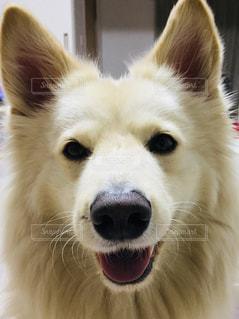 犬,白,笑顔,モフモフ,アップ,見つめる