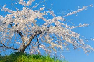 明石公園 枝垂れ桜の写真・画像素材[1147365]