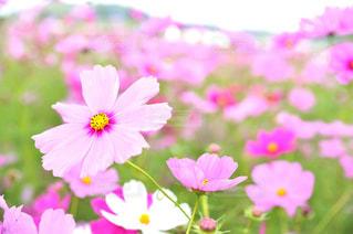 自然,花,秋,花畑,ピンク,コスモス,コスモス畑