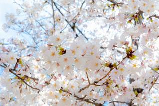 桜 満開の写真・画像素材[2025744]