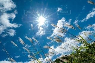 太陽に輝く黄金色のススキの写真・画像素材[2630295]