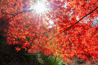 自然,風景,空,公園,秋,紅葉,太陽,もみじ,光,樹木,赤い,カエデ,東山公園,腫れ