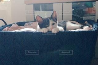 カゴの中で横になっている猫の写真・画像素材[1256769]