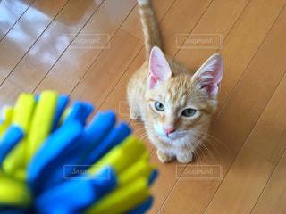 ボールが欲しい子猫の写真・画像素材[2331185]