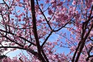 青空の桜の写真・画像素材[1104682]