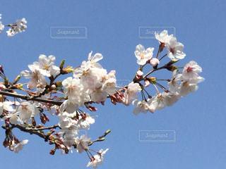 桜よ桜 - No.1104023