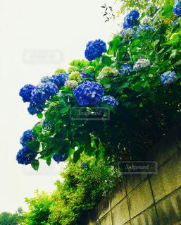 自然,夏,屋外,緑,植物,青,葉,紫陽花,初夏,草木