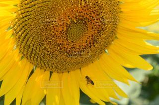 ひまわり,黄色,向日葵,yellow,ヒマワリ