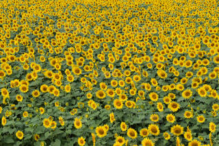 黄色,向日葵,yellow,ヒマワリ