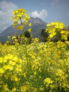 黄色,菜の花,湯布院,由布岳