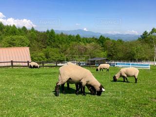 八ヶ岳の牧場で羊の群れの写真・画像素材[1045118]