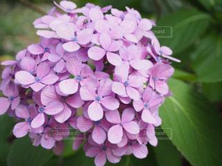 花,あじさい,紫,紫陽花,梅雨,6月