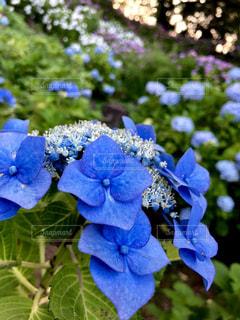緑,植物,あじさい,青,紫陽花,梅雨,小田原城