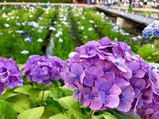 緑,植物,赤,あじさい,鮮やか,紫陽花,菖蒲,梅雨,小田原城
