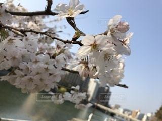 風景,桜,屋外