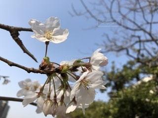 風景,桜,屋外,日本