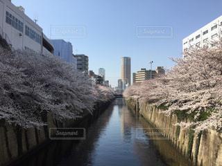 桜,東京都,目黒川,桜祭り,名所,にぎわい