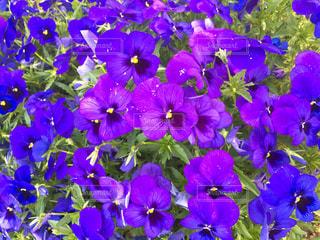 紫色の花の写真・画像素材[1408123]
