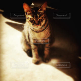 カメラを見ている猫の写真・画像素材[1290453]