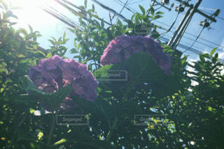 紫陽花と梅雨の晴れ間の写真・画像素材[1233678]