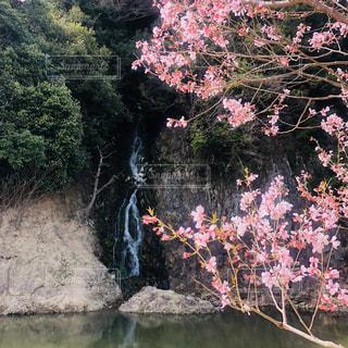 栗林公園の桜と滝の写真・画像素材[1136903]