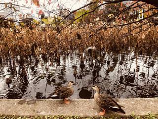 不忍池と鴨の写真・画像素材[1626190]