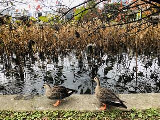 不忍池と鴨の写真・画像素材[1626194]