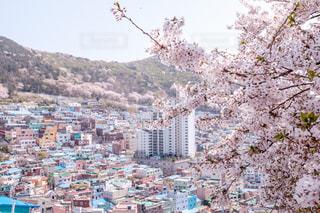 桜の季節の甘村文化村の写真・画像素材[2044799]