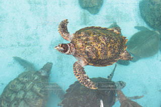 気持ち良く泳ぐ海亀の写真・画像素材[1082414]