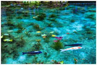 モネの池の写真・画像素材[1052218]