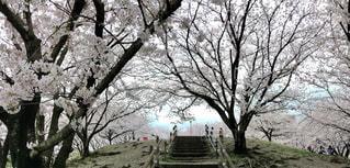 自然,風景,春,桜,幻想的,景色,花びら,樹木,旅,桜吹雪,桜の木,福岡県,ピンクの絨毯,春日市,安徳公園