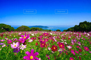 自然,海,空,花,秋,絶景,コスモス,カラフル,きれい,青空,フラワー,景色,美しい,日本,秋桜,福岡,10月,能古島,イロトリドリ