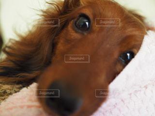 横になって、カメラを見ている犬の写真・画像素材[1184089]