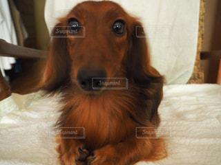 ベッドの上で横になっている茶色と白犬の写真・画像素材[1189131]