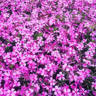 風景,花,桜,屋外,東京,紫,芝桜,文京区
