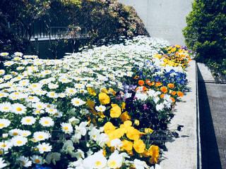 花,春,白,黄色,日本,花壇,フォトジェニック,インスタ映え